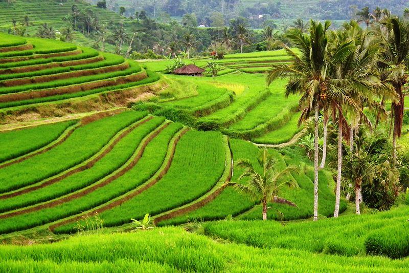 Jatiluwih: Amazing Rice Terrace 10