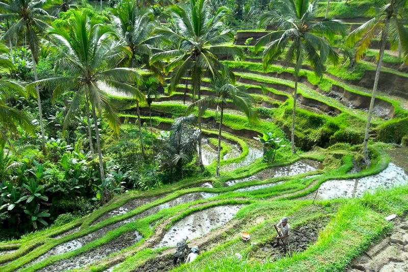 Tegallalang Rice Terrace 1